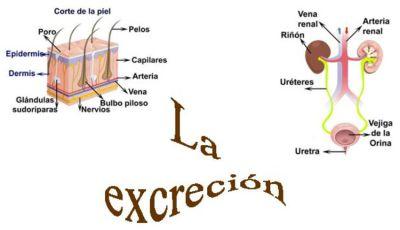 excrecion2